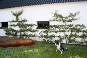 Maglemer og Jonathan i espalier - nu med hund og trækano